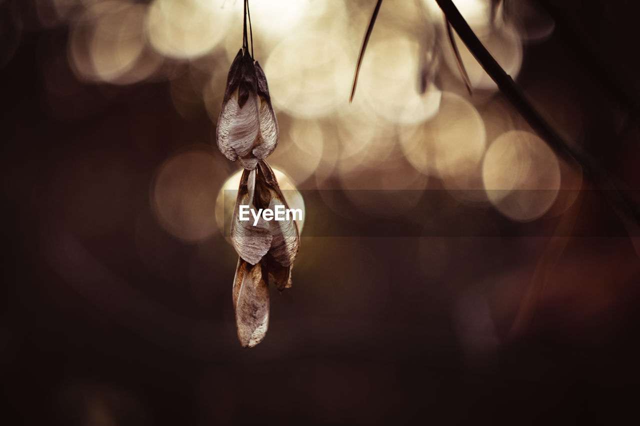 close-up, focus on foreground, no people, hanging, selective focus, dry, plant, nature, day, fragility, beauty in nature, vulnerability, brown, outdoors, growth, flower, freshness, leaf, tranquility, plant part, wilted plant
