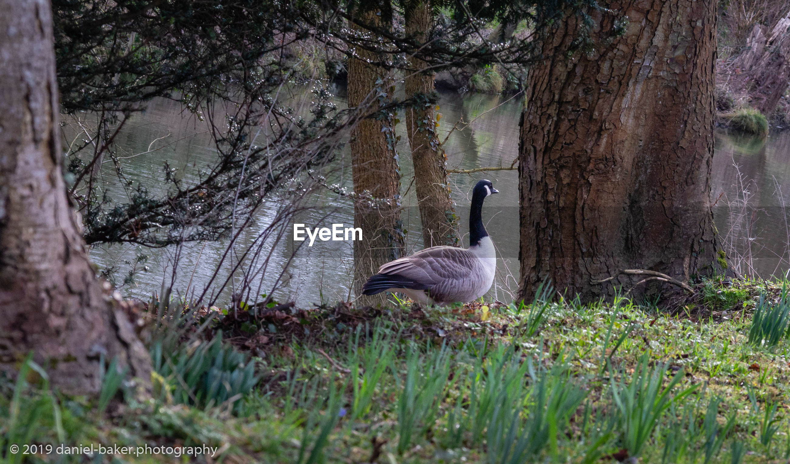 plant, animal wildlife, animals in the wild, tree, animal themes, bird, animal, tree trunk, trunk, vertebrate, nature, goose, no people, one animal, day, land, grass, canada goose, outdoors, growth