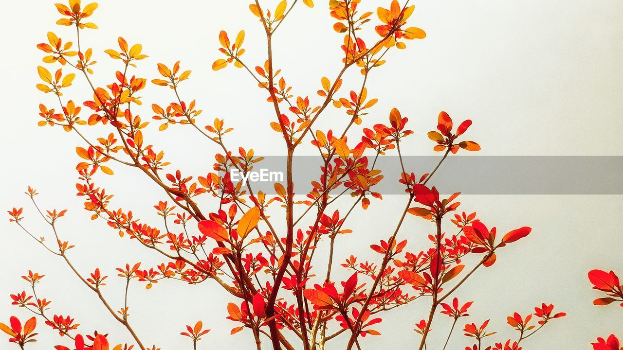 nature, flower, growth, no people, clear sky, beauty in nature, low angle view, red, white background, outdoors, day, branch, freshness, fragility, close-up, tree, sky