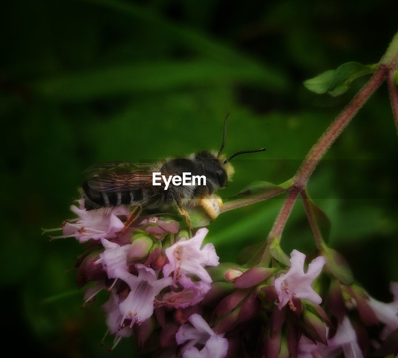 one animal, flower, animals in the wild, animal themes, insect, nature, fragility, plant, animal wildlife, growth, beauty in nature, pollination, petal, symbiotic relationship, no people, pink color, freshness, outdoors, close-up, bee, day, flower head, leaf, bumblebee, mammal