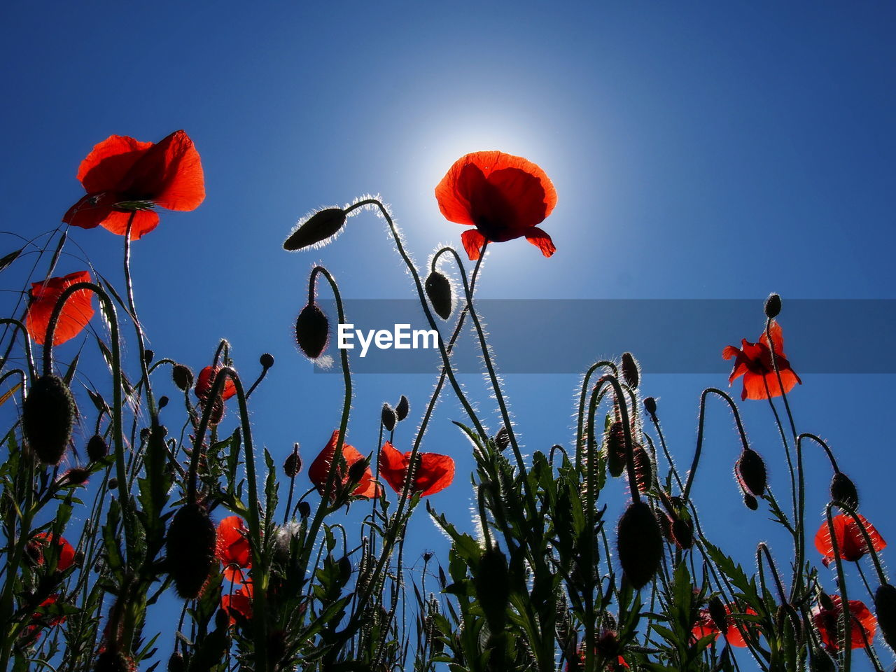 flower, flowering plant, plant, beauty in nature, freshness, sky, red, growth, petal, fragility, vulnerability, nature, poppy, close-up, flower head, low angle view, inflorescence, no people, clear sky, day, outdoors