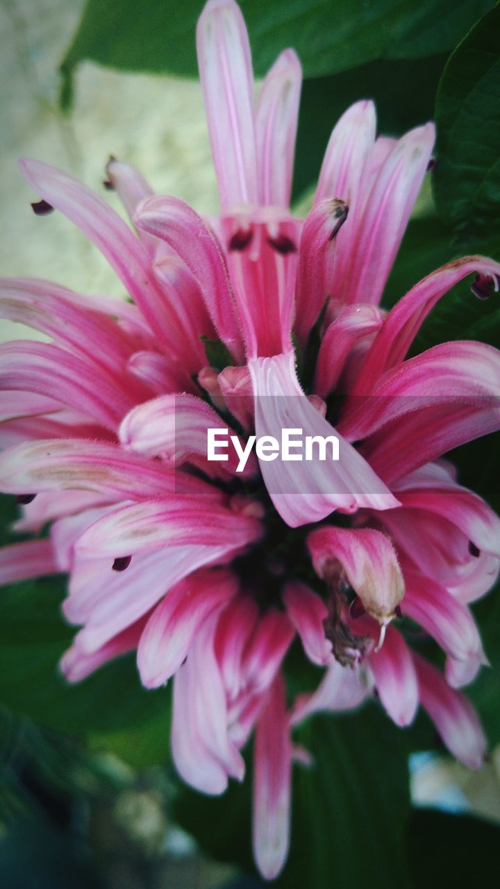 flower, petal, beauty in nature, nature, flower head, no people, growth, fragility, close-up, pink color, freshness, outdoors, day, day lily