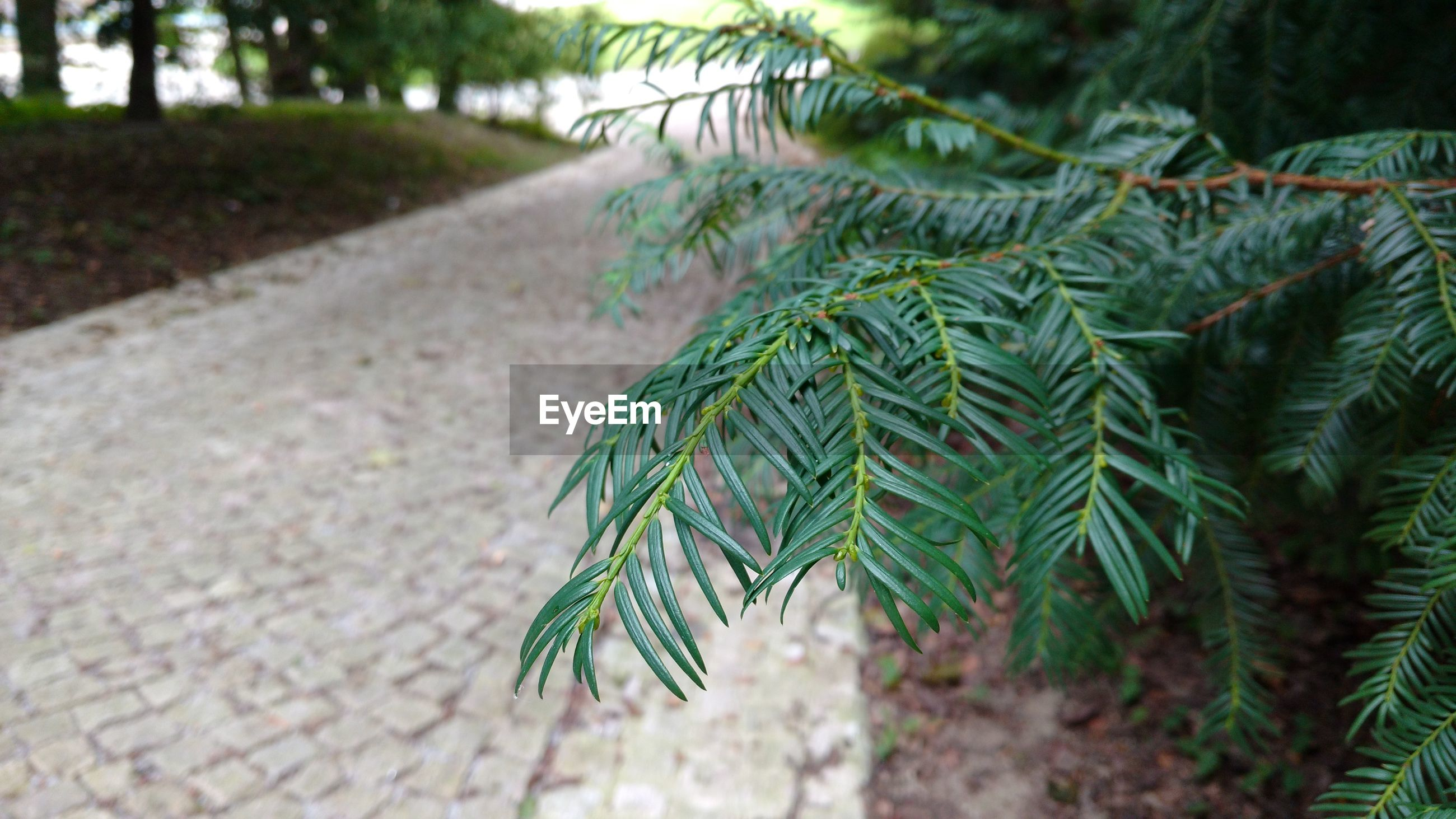 CLOSE-UP OF PINE TREE ON FOOTPATH IN PARK