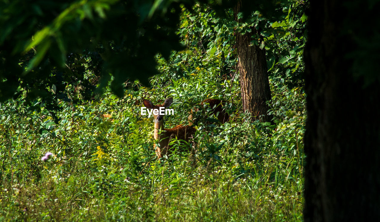 plant, tree, land, tree trunk, trunk, animal wildlife, nature, animals in the wild, green color, animal, no people, animal themes, field, growth, selective focus, forest, day, grass, mammal, deer, outdoors, herbivorous