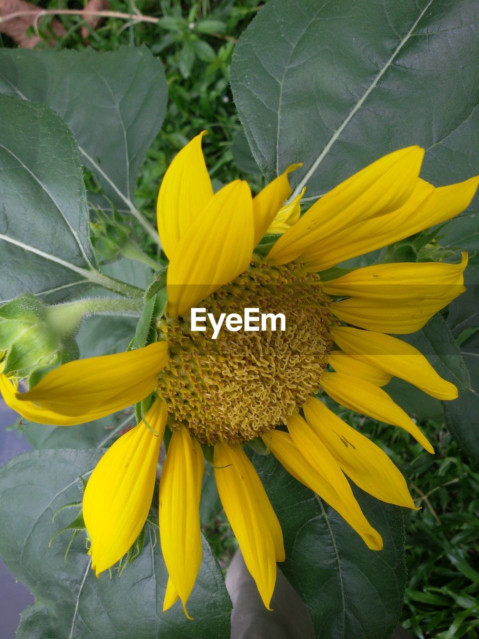 flower, yellow, petal, fragility, growth, nature, flower head, plant, beauty in nature, blooming, sunflower, freshness, no people, outdoors, day, close-up