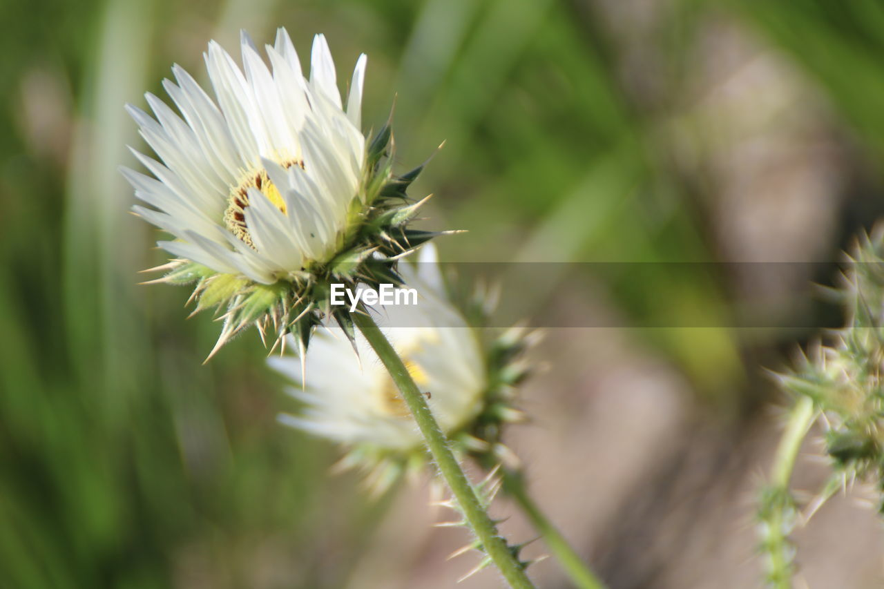 flower, nature, growth, petal, fragility, beauty in nature, white color, freshness, plant, flower head, close-up, focus on foreground, no people, outdoors, day, blooming, bee, animal themes
