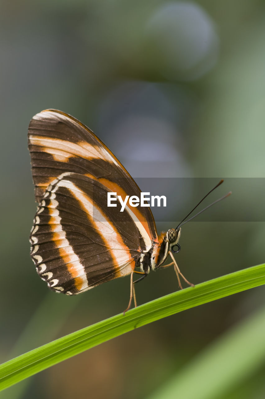 insect, animal themes, one animal, animals in the wild, animal wildlife, butterfly - insect, close-up, no people, outdoors, day, leaf, focus on foreground, nature, perching