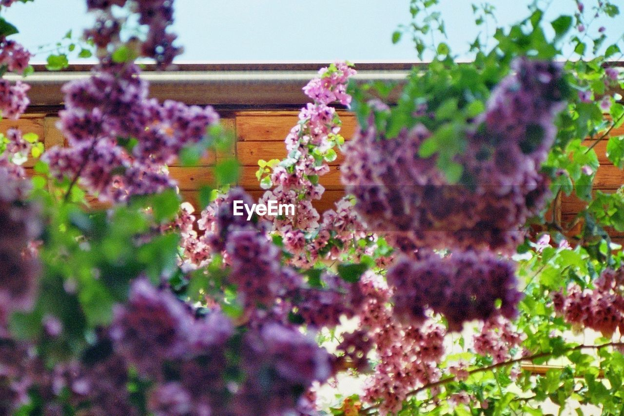 PURPLE FLOWERS BLOOMING ON PLANT OUTDOORS