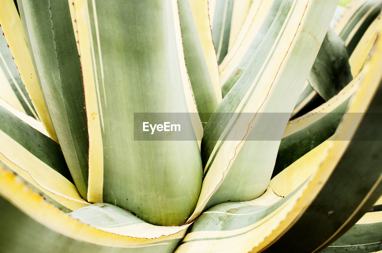green color, close-up, no people, freshness, wellbeing, food and drink, succulent plant, still life, healthy eating, food, nature, vegetable, aloe, day, aloe vera plant, indoors, plant, growth, high angle view