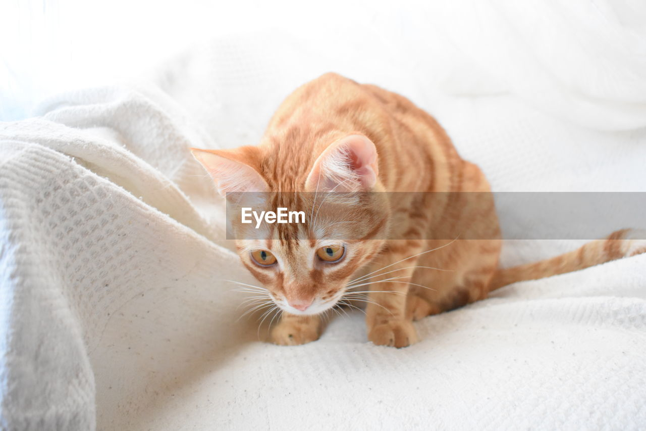 pets, domestic, cat, domestic cat, animal themes, feline, domestic animals, mammal, animal, one animal, vertebrate, furniture, indoors, bed, whisker, relaxation, no people, young animal, kitten, close-up, ginger cat