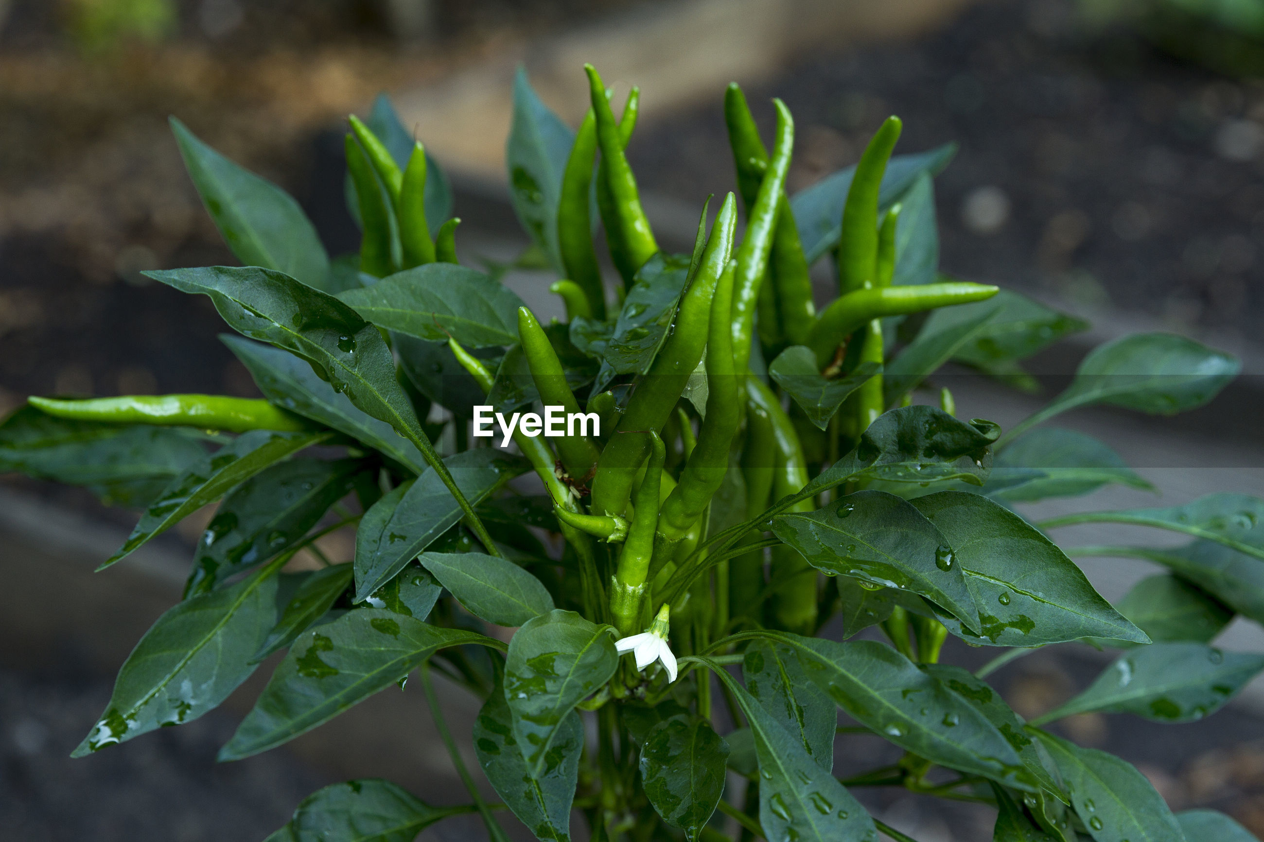 Close-up of fresh chilies on plant
