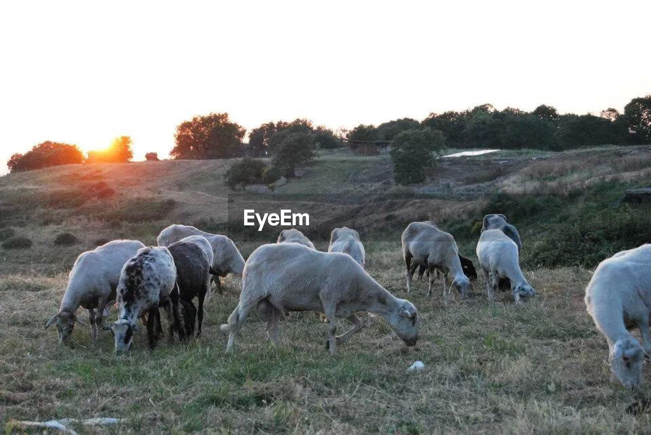 SHEEP GRAZING ON GRASSY FIELD DURING SUNSET