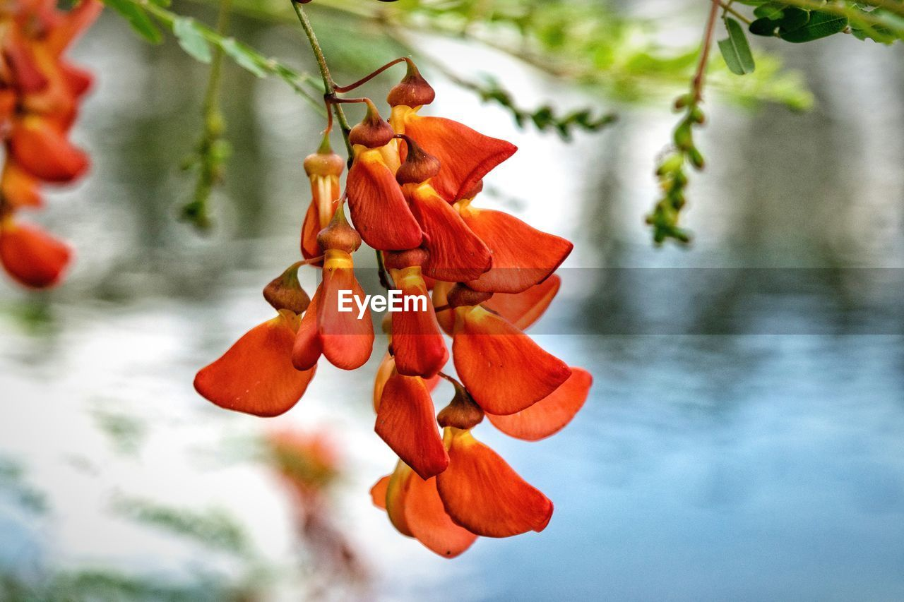 focus on foreground, beauty in nature, orange color, day, nature, outdoors, no people, growth, red, close-up, flower, tree, freshness, fragility, water, flower head, sky
