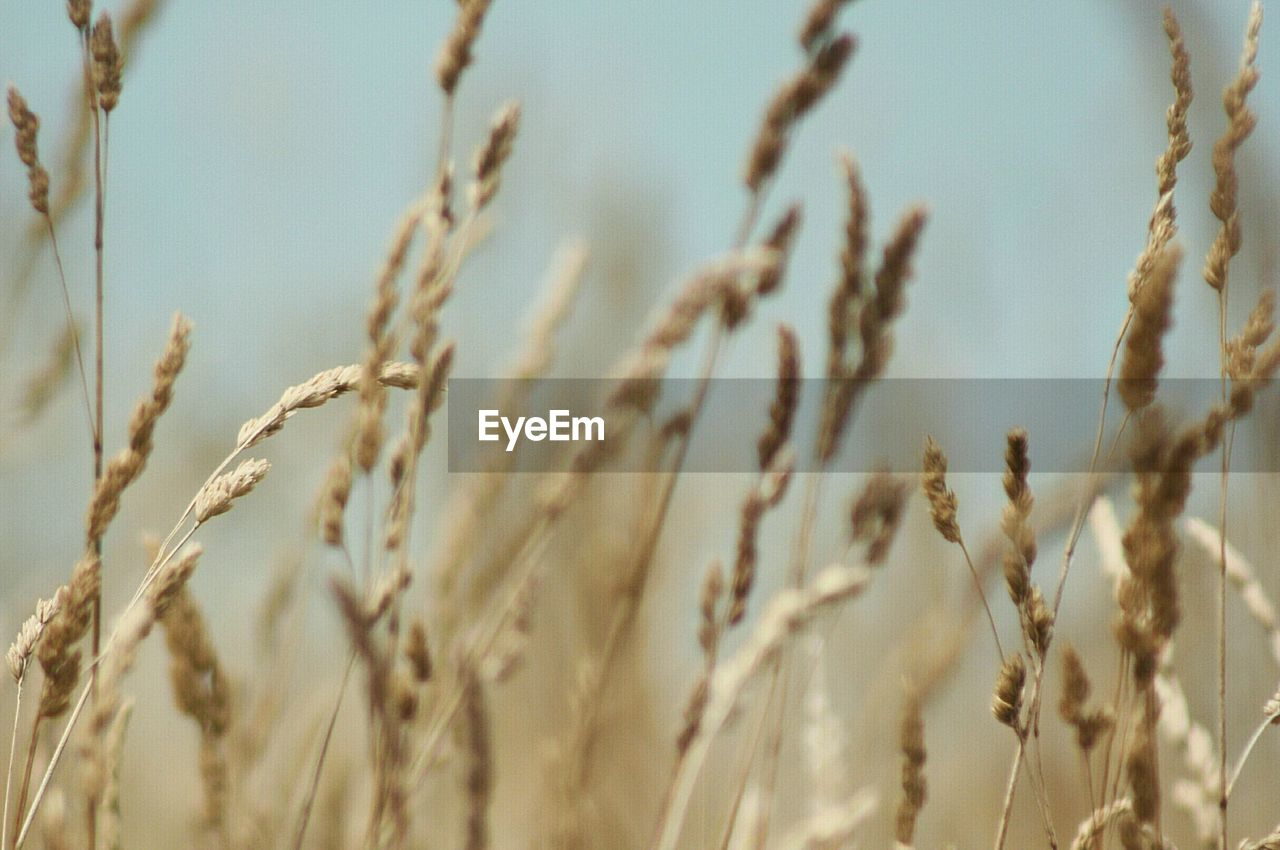cereal plant, growth, agriculture, crop, wheat, nature, plant, ear of wheat, day, no people, field, close-up, tranquility, beauty in nature, rural scene, outdoors, backgrounds, sky