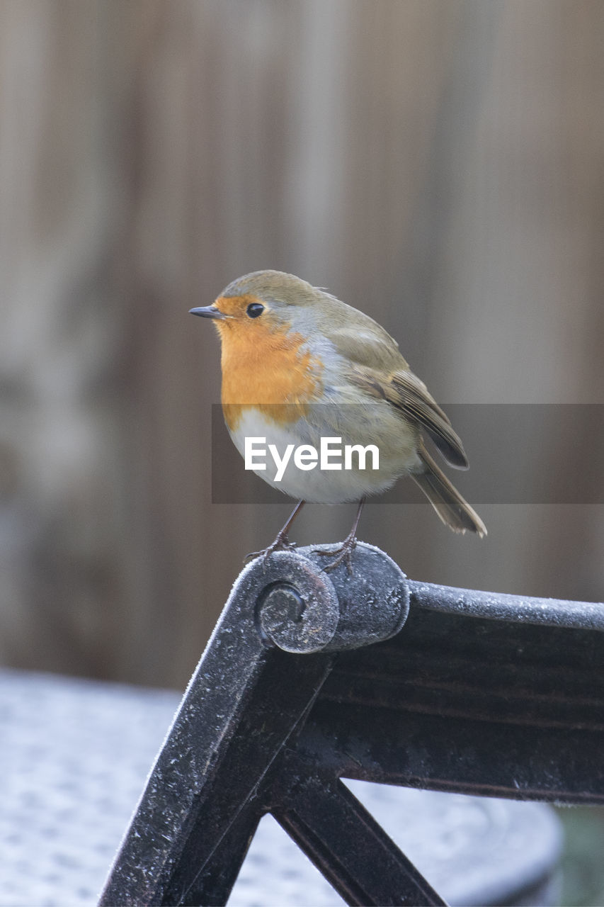 Close-up of robin perching on chair during winter