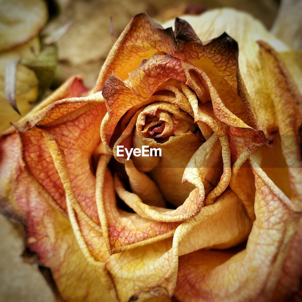 Close-up of orange dry rose