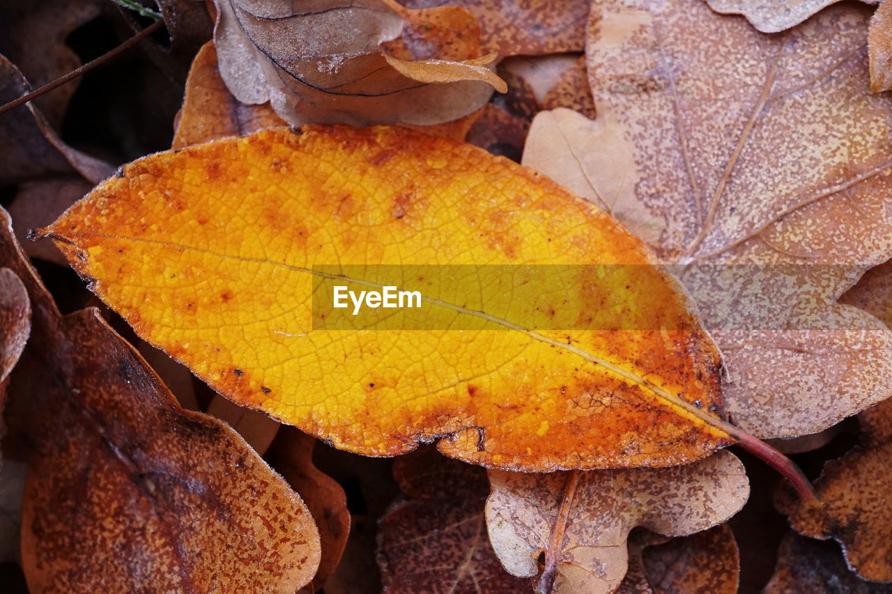 CLOSE-UP OF YELLOW MAPLE LEAF ON LEAVES