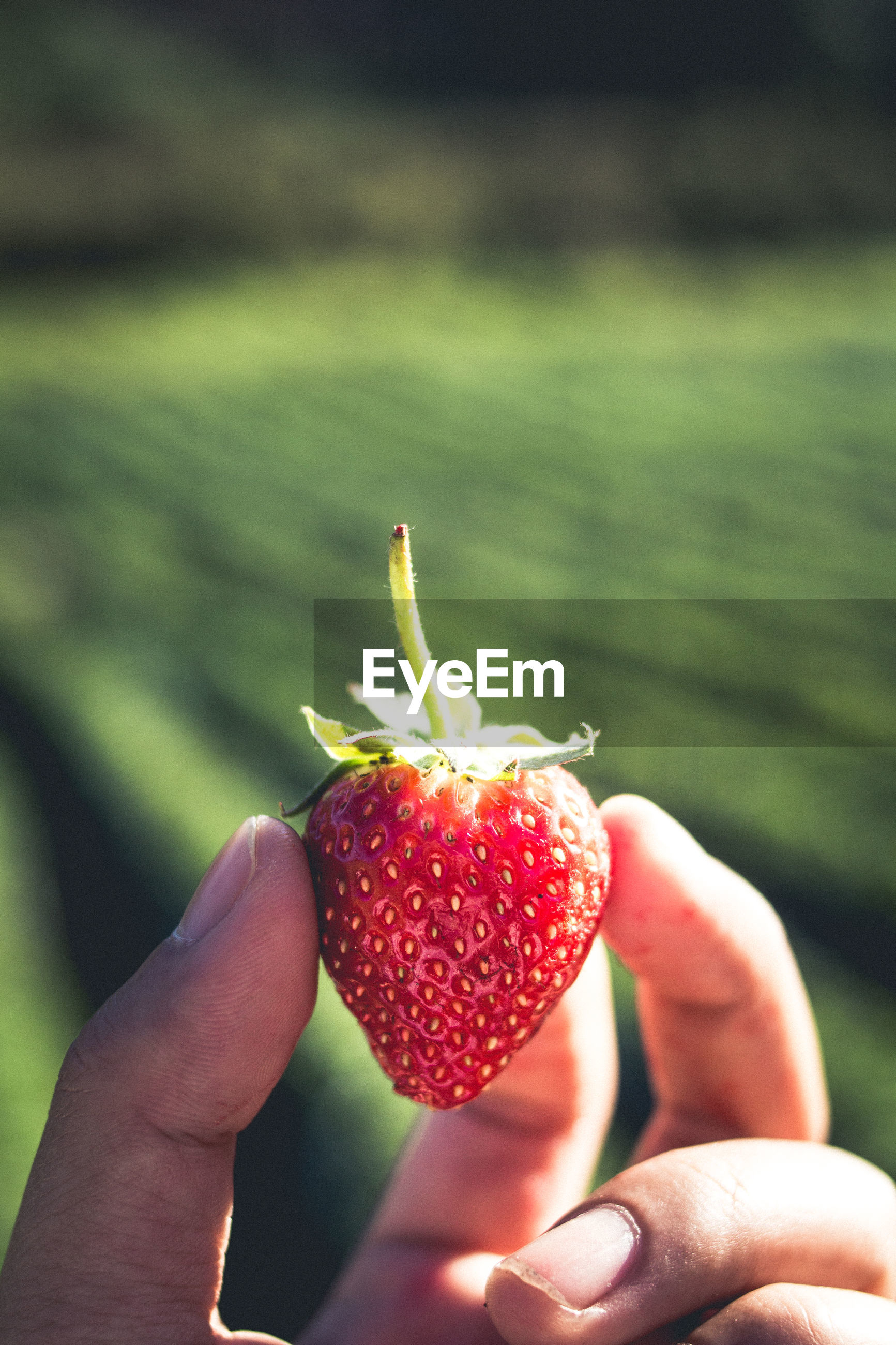 Cropped hand of woman holding strawberries over field