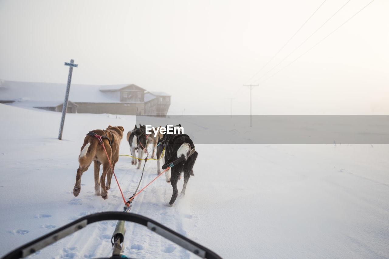 Sled dogs walking on snow against sky during sunset
