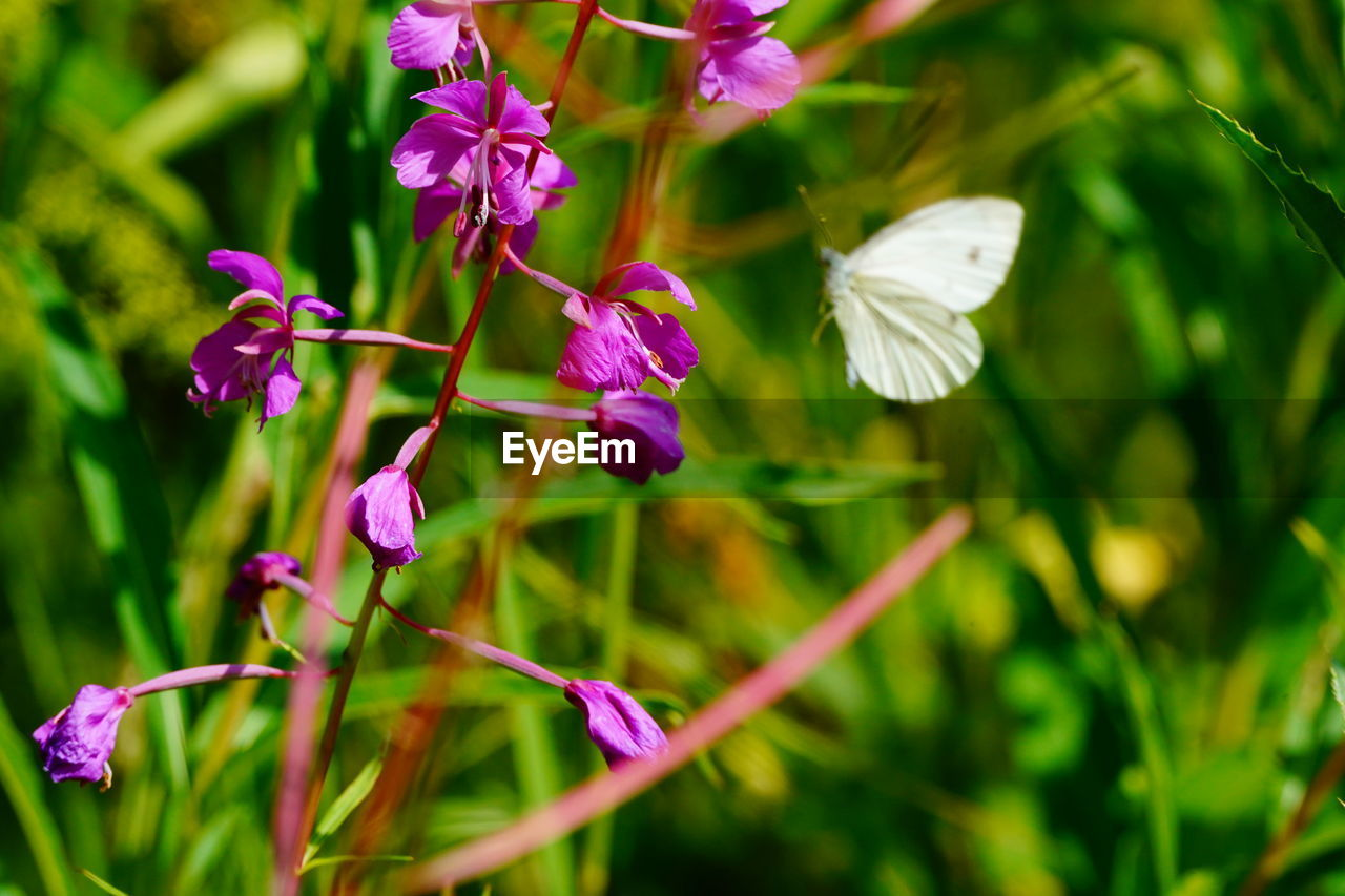plant, flowering plant, flower, beauty in nature, growth, vulnerability, fragility, petal, close-up, freshness, pink color, purple, no people, nature, flower head, day, focus on foreground, inflorescence, selective focus, green color, outdoors