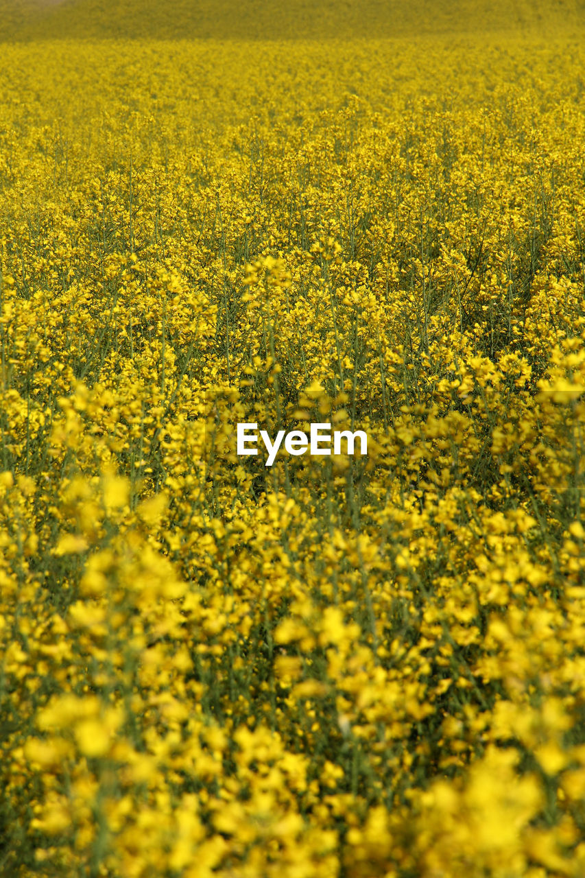 yellow, flower, beauty in nature, agriculture, flowering plant, field, crop, landscape, land, oilseed rape, abundance, growth, rural scene, farm, plant, nature, no people, freshness, scenics - nature, full frame, outdoors, springtime