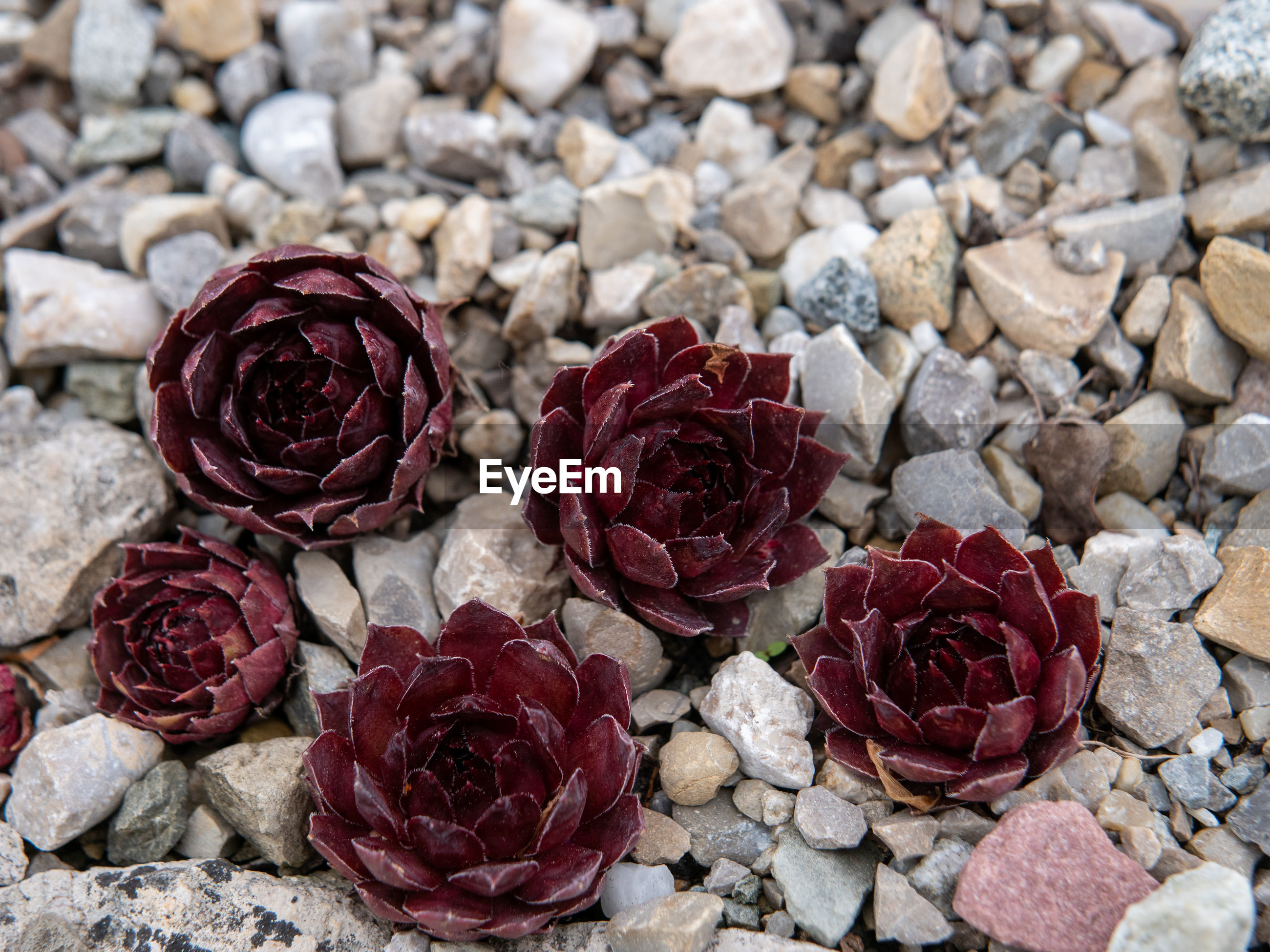 CLOSE-UP OF ROSE ROSES ON PEBBLES