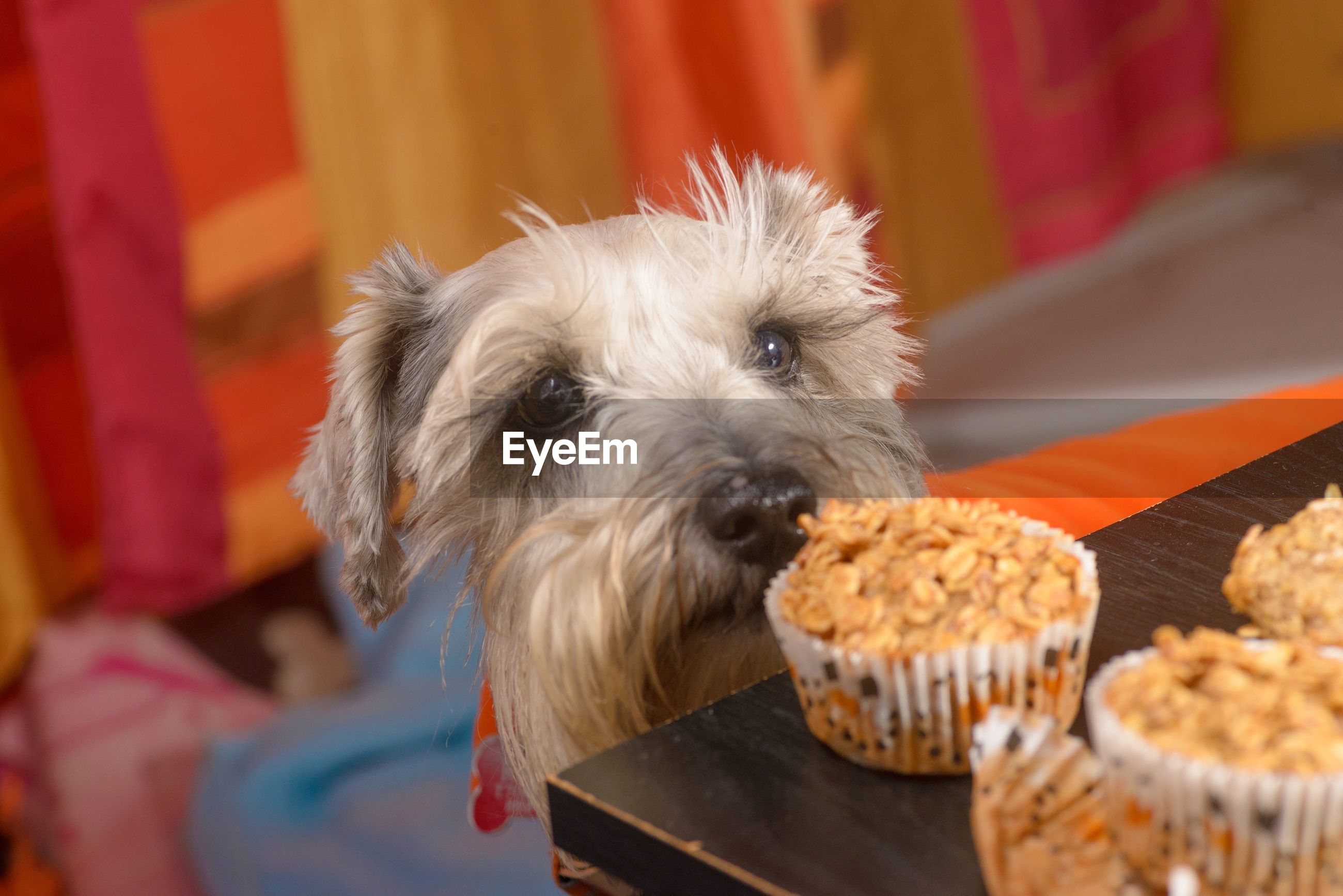 Close-up of dog by cupcakes on table