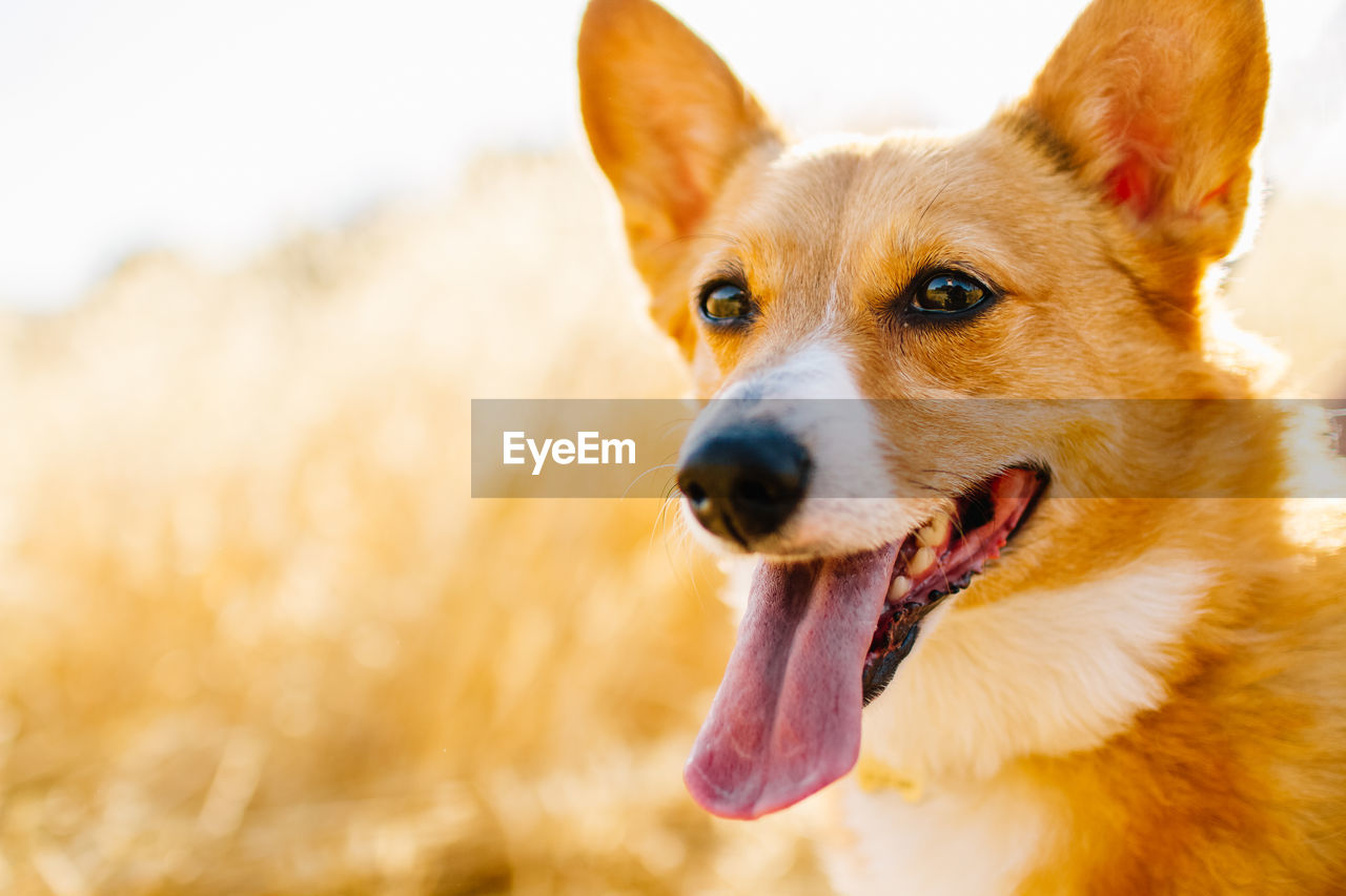 CLOSE-UP PORTRAIT OF DOG STICKING OUTDOORS