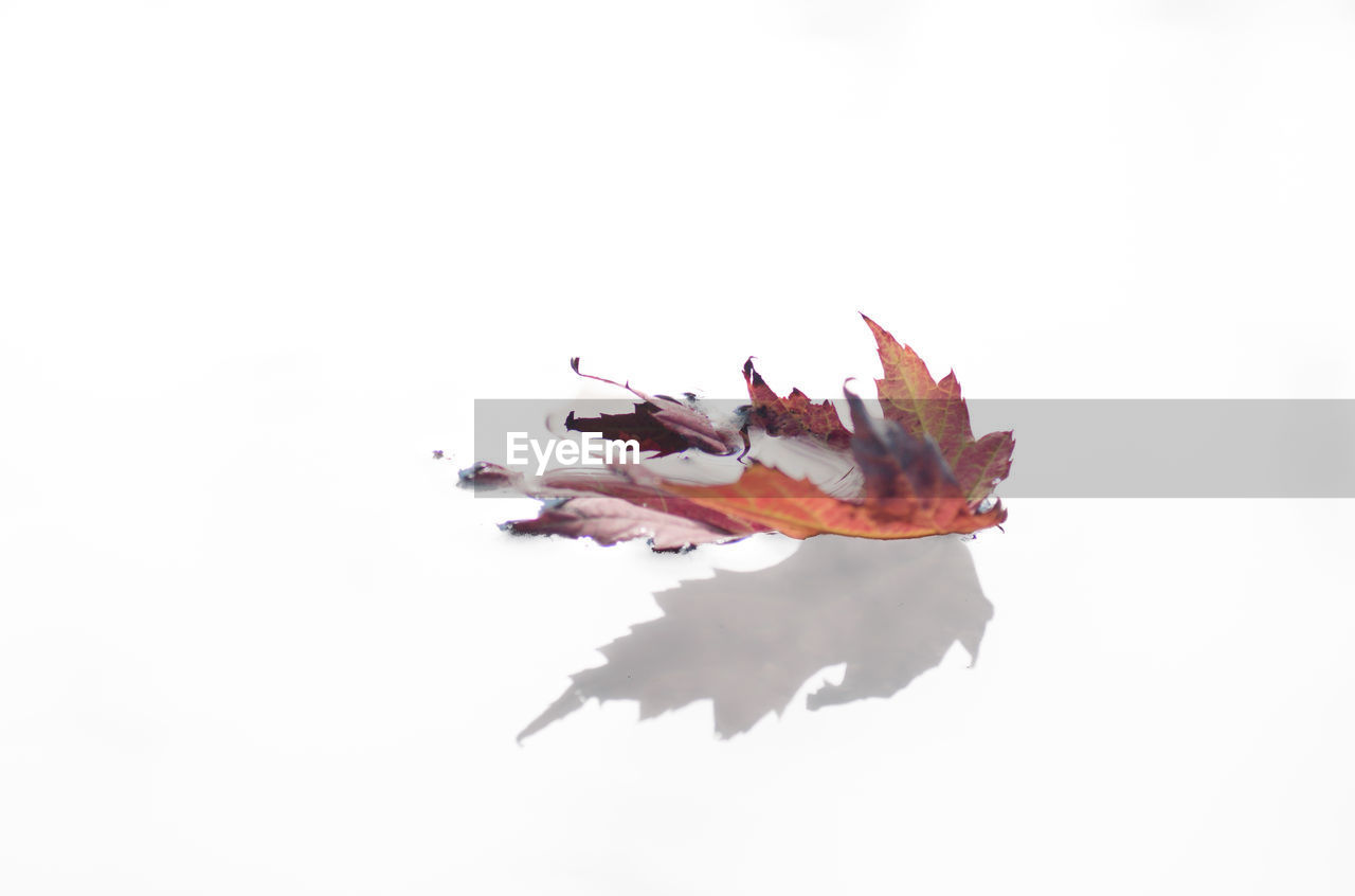 autumn, white background, studio shot, change, leaf, no people, nature, close-up, outdoors, day