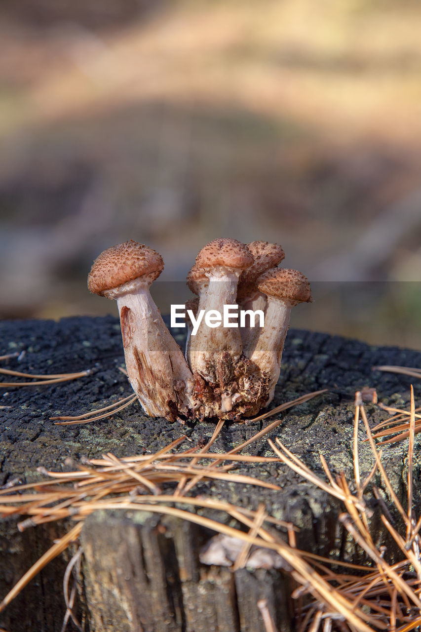 close-up, focus on foreground, nature, land, plant, no people, food, day, field, mushroom, selective focus, fungus, dry, growth, brown, outdoors, beauty in nature, vegetable, toadstool, tranquility, dead plant, poisonous, dried