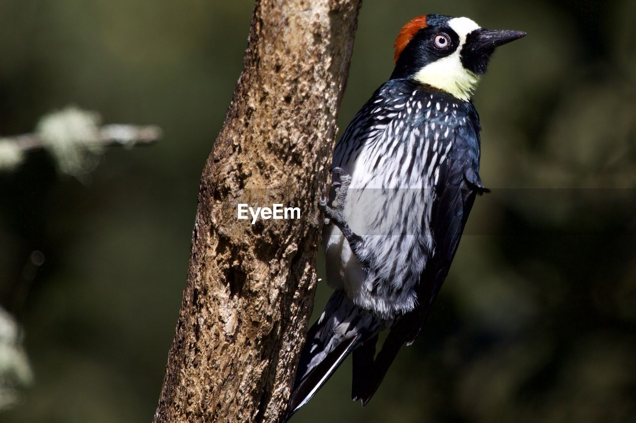 bird, animal, animal themes, vertebrate, animal wildlife, animals in the wild, one animal, focus on foreground, perching, woodpecker, close-up, tree, no people, nature, day, outdoors, plant, branch, tree trunk, trunk