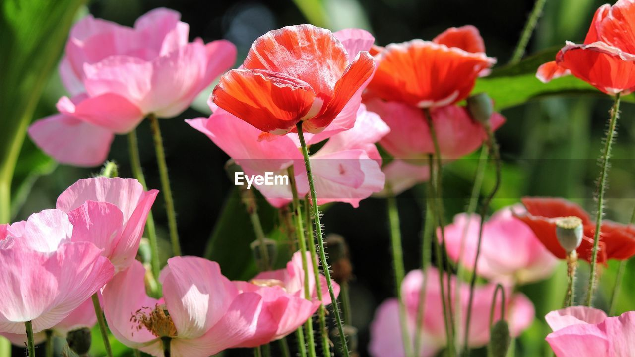 flower, growth, petal, beauty in nature, pink color, fragility, nature, plant, blooming, flower head, freshness, no people, outdoors, close-up, day