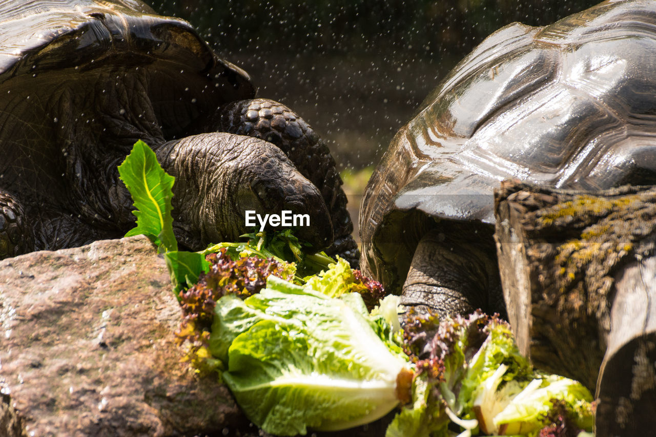 animal, animal themes, vertebrate, group of animals, animal wildlife, mammal, no people, animals in the wild, nature, two animals, close-up, selective focus, day, pets, domestic, domestic animals, turtle, leaf, animal head