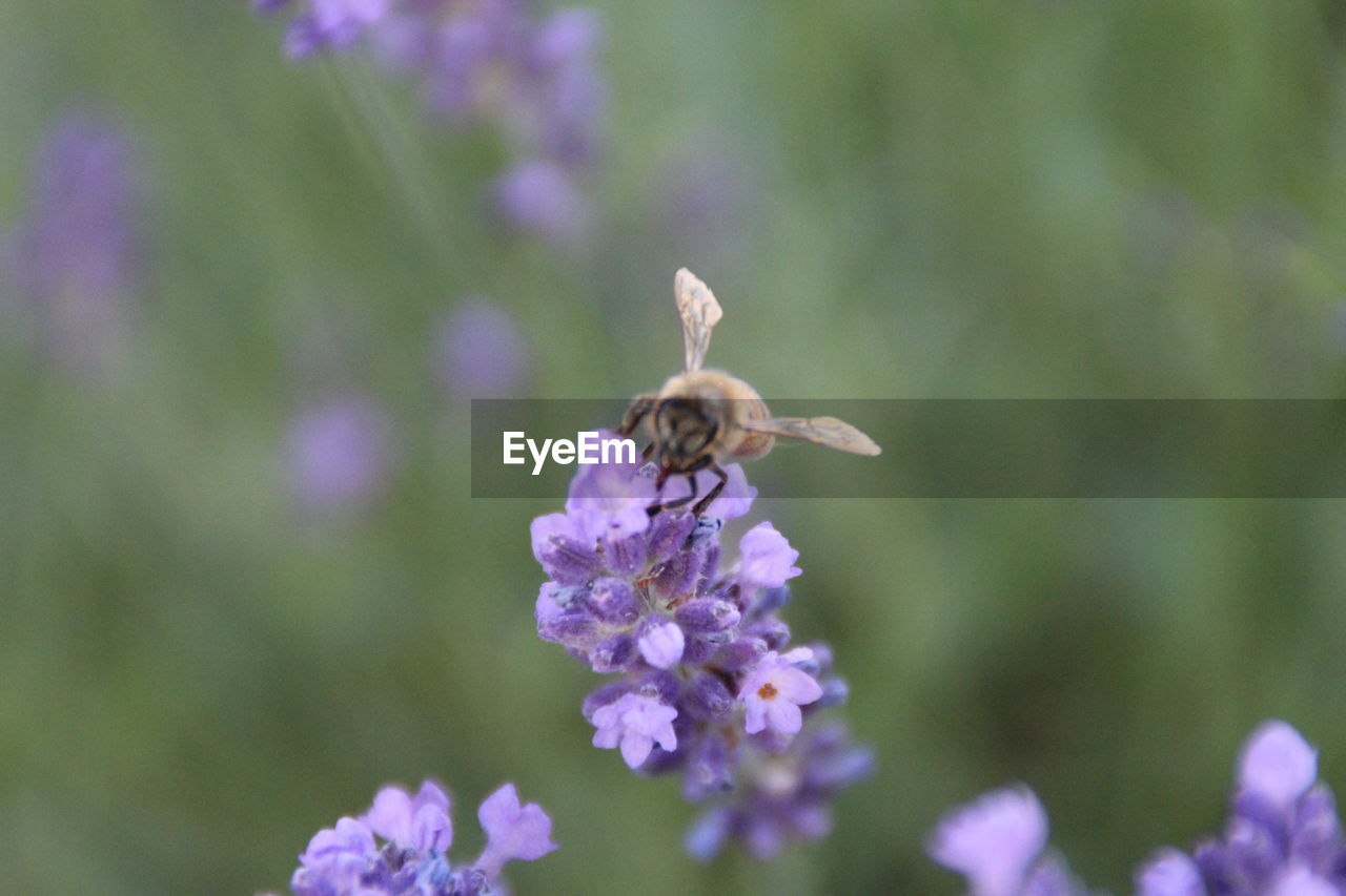 flower, nature, insect, fragility, growth, one animal, bee, purple, plant, beauty in nature, petal, animal themes, pollination, day, animals in the wild, outdoors, no people, freshness, blooming, close-up, flower head