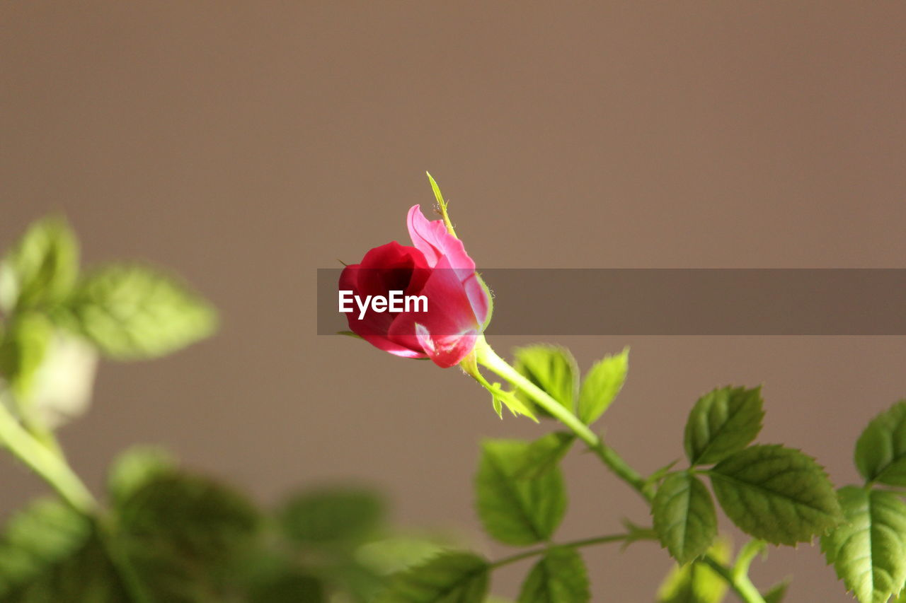 Flower Red Plant Rose - Flower Petal Nature Beauty In Nature Flower Head Fragility Leaf Close-up Freshness No People Growth Outdoors Day