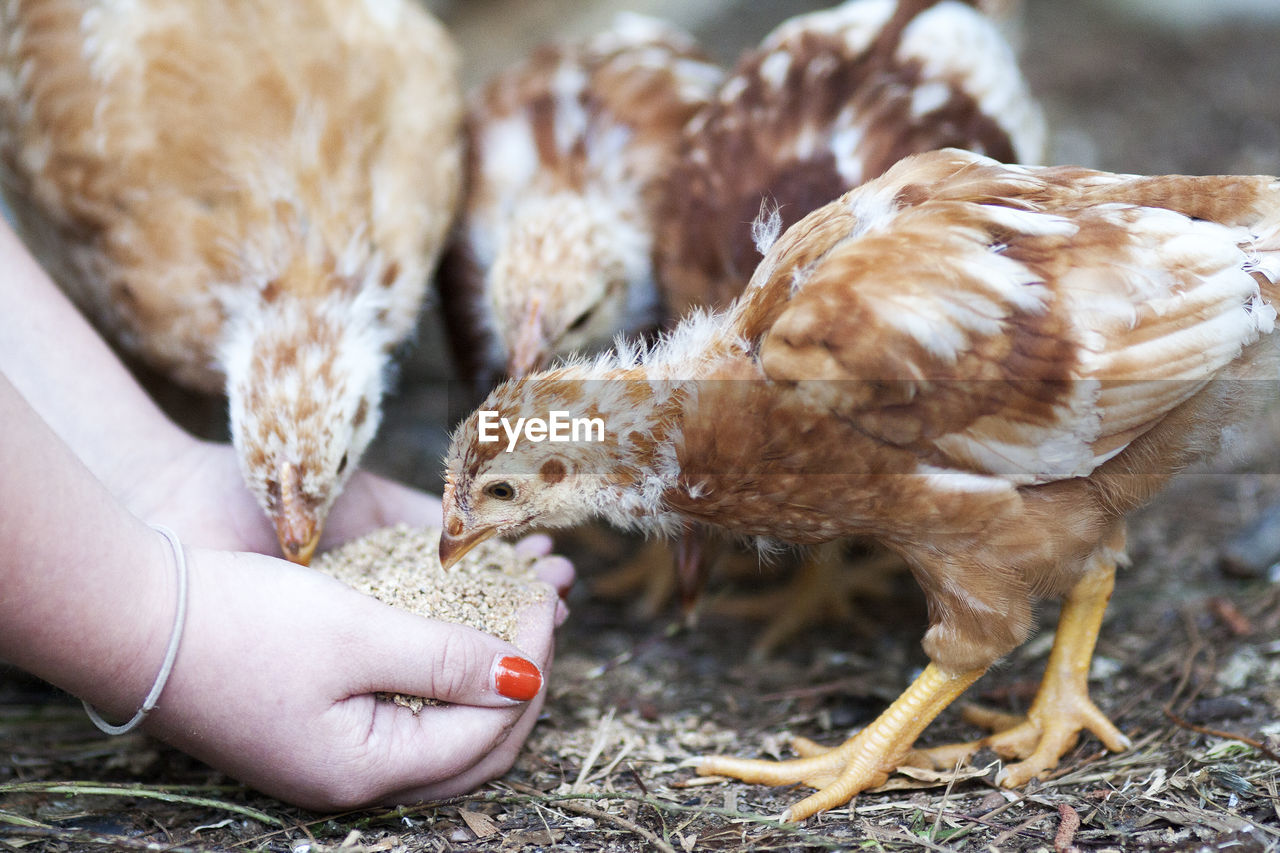 Cropped Image Of Woman Feeding Baby Chickens