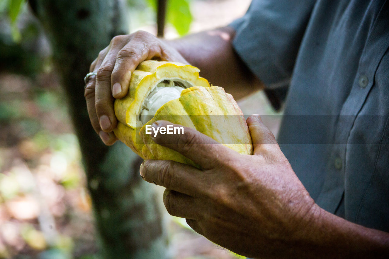 Midsection of man holding cacao while standing at farm