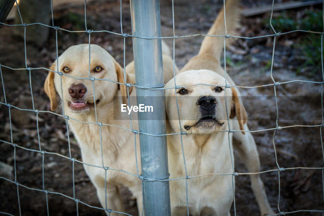 canine, dog, domestic animals, animal themes, mammal, pets, barrier, fence, boundary, animal, domestic, group of animals, focus on foreground, two animals, vertebrate, security, portrait, no people, protection, outdoors