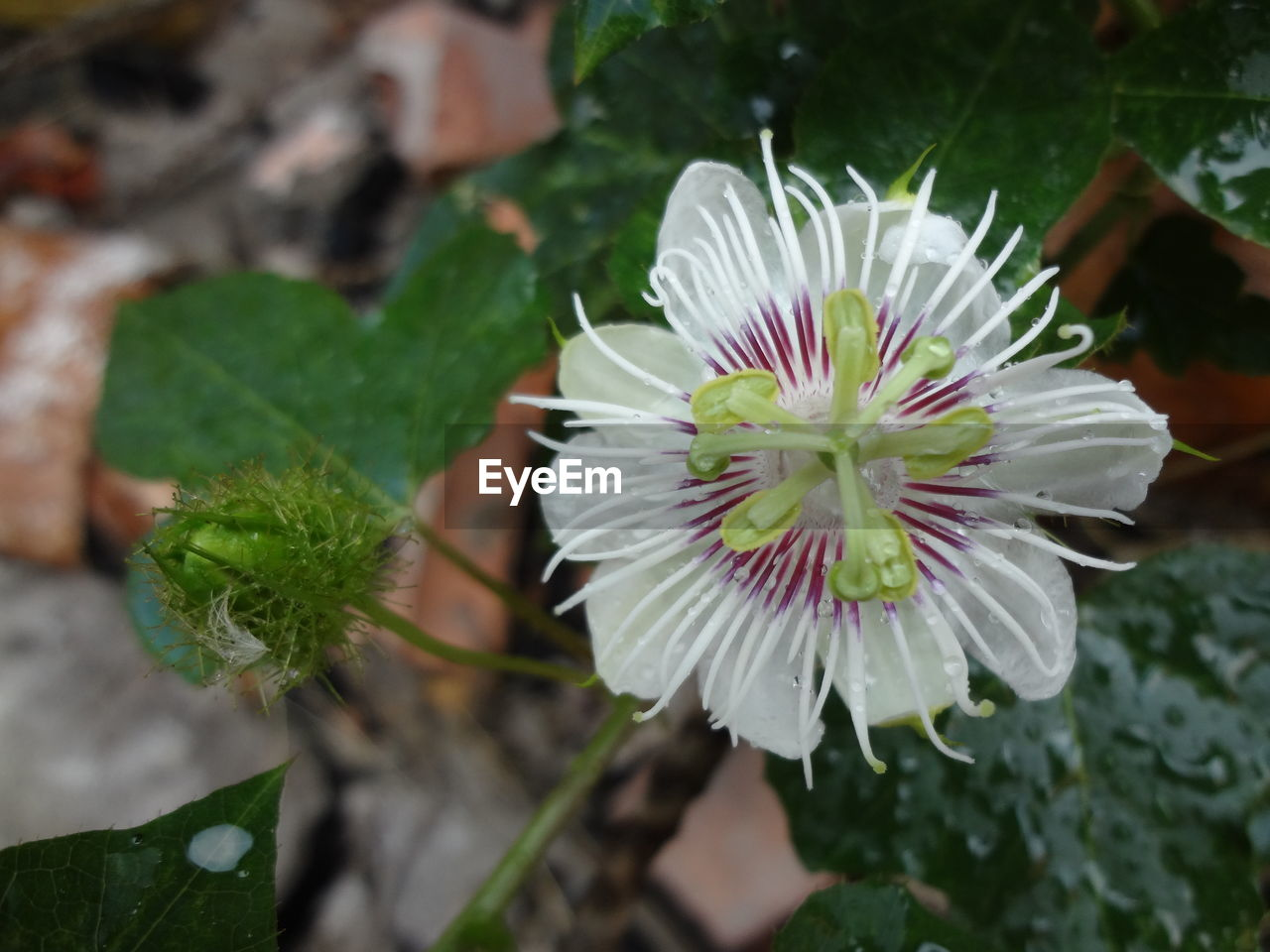 flower, plant, nature, petal, growth, fragility, beauty in nature, flower head, freshness, white color, green color, leaf, day, outdoors, no people, close-up, high angle view, focus on foreground, blooming, passion flower