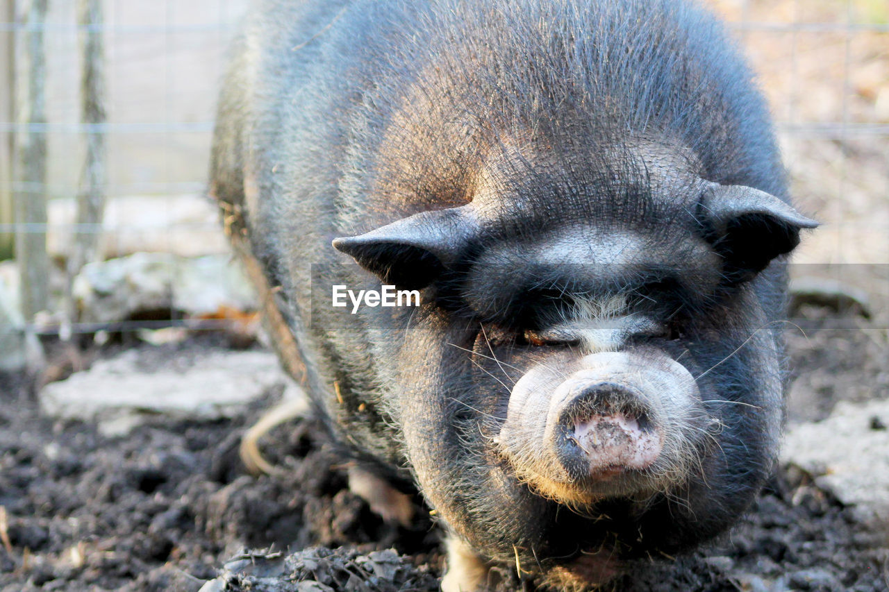 mammal, animal themes, one animal, animal, pets, domestic, domestic animals, portrait, pig, looking at camera, vertebrate, canine, no people, dog, day, close-up, field, focus on foreground, land, nature, outdoors, animal head, snout, animal nose