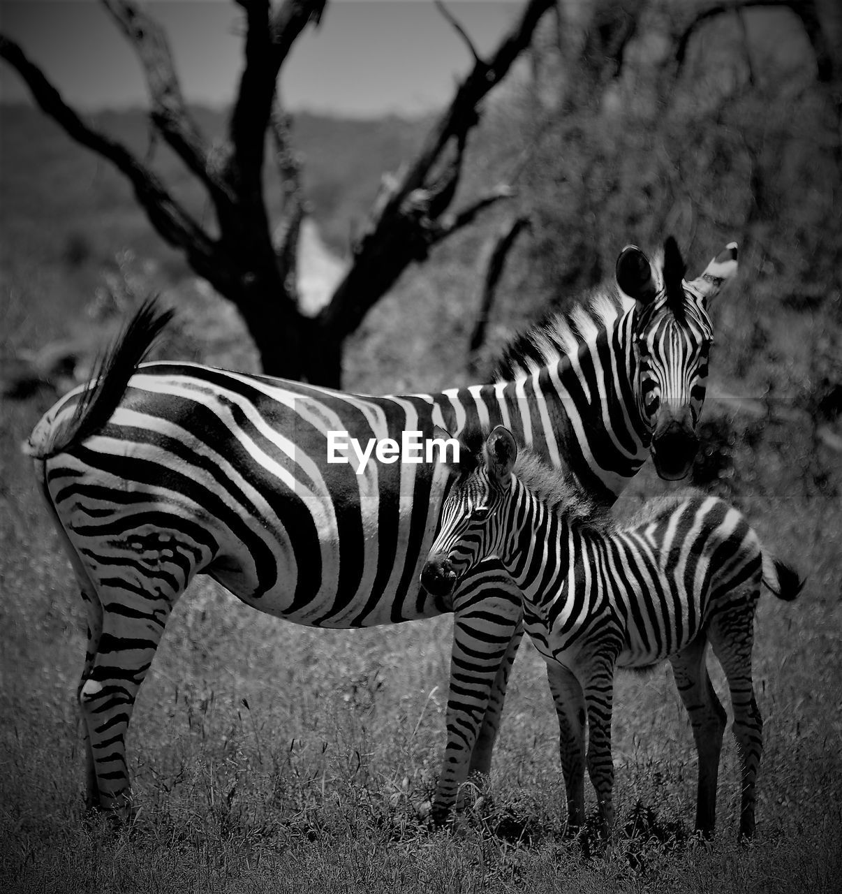 zebra, striped, animals in the wild, animal themes, animal wildlife, mammal, outdoors, nature, field, day, animal markings, safari animals, no people, standing, grass, full length
