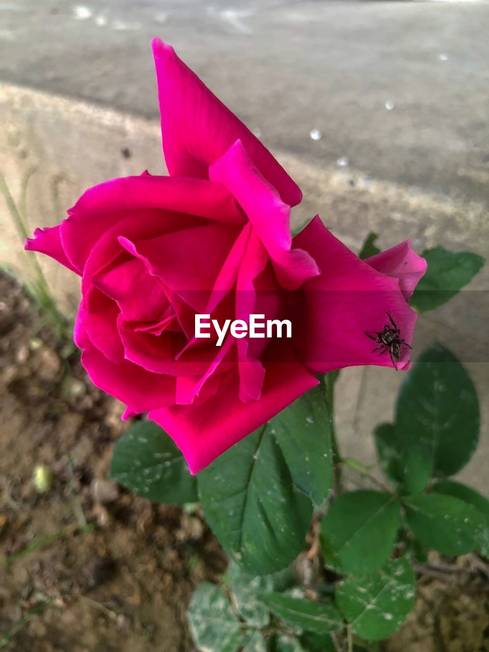 plant, pink color, beauty in nature, close-up, petal, flowering plant, flower, freshness, nature, flower head, inflorescence, vulnerability, fragility, no people, growth, focus on foreground, leaf, rose, day, plant part, outdoors, purple