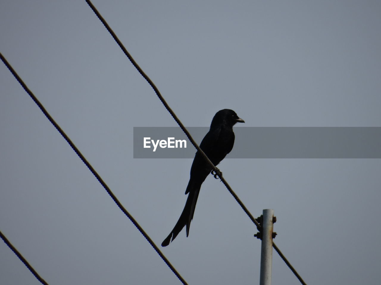 bird, animal themes, animal, vertebrate, animal wildlife, animals in the wild, perching, one animal, sky, low angle view, cable, no people, clear sky, nature, power line, day, electricity, outdoors, connection, crow, power supply