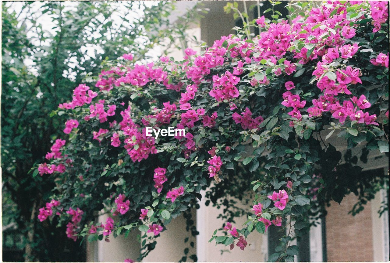 flowering plant, flower, plant, growth, freshness, pink color, beauty in nature, fragility, vulnerability, nature, close-up, day, no people, petal, outdoors, architecture, built structure, inflorescence, flower head, building exterior, flower pot, lilac, spring