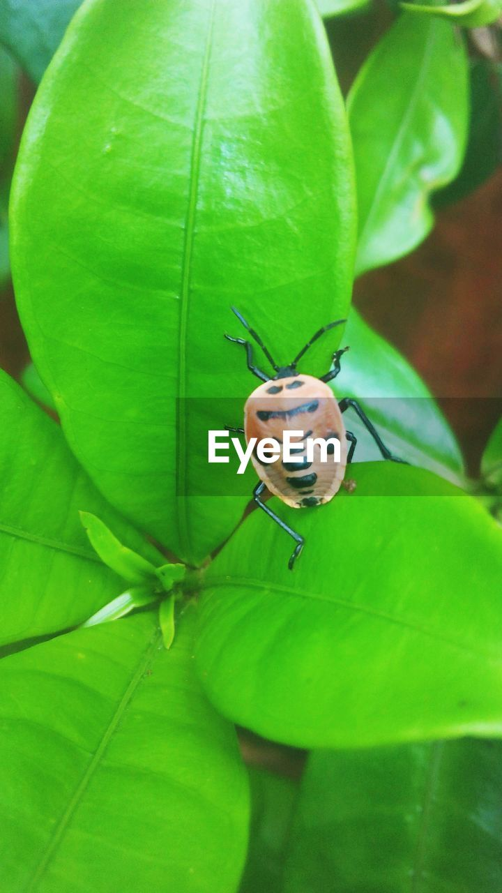 plant part, leaf, invertebrate, animal, insect, animal wildlife, animal themes, one animal, animals in the wild, green color, close-up, plant, growth, nature, no people, beetle, day, ladybug, outdoors, zoology