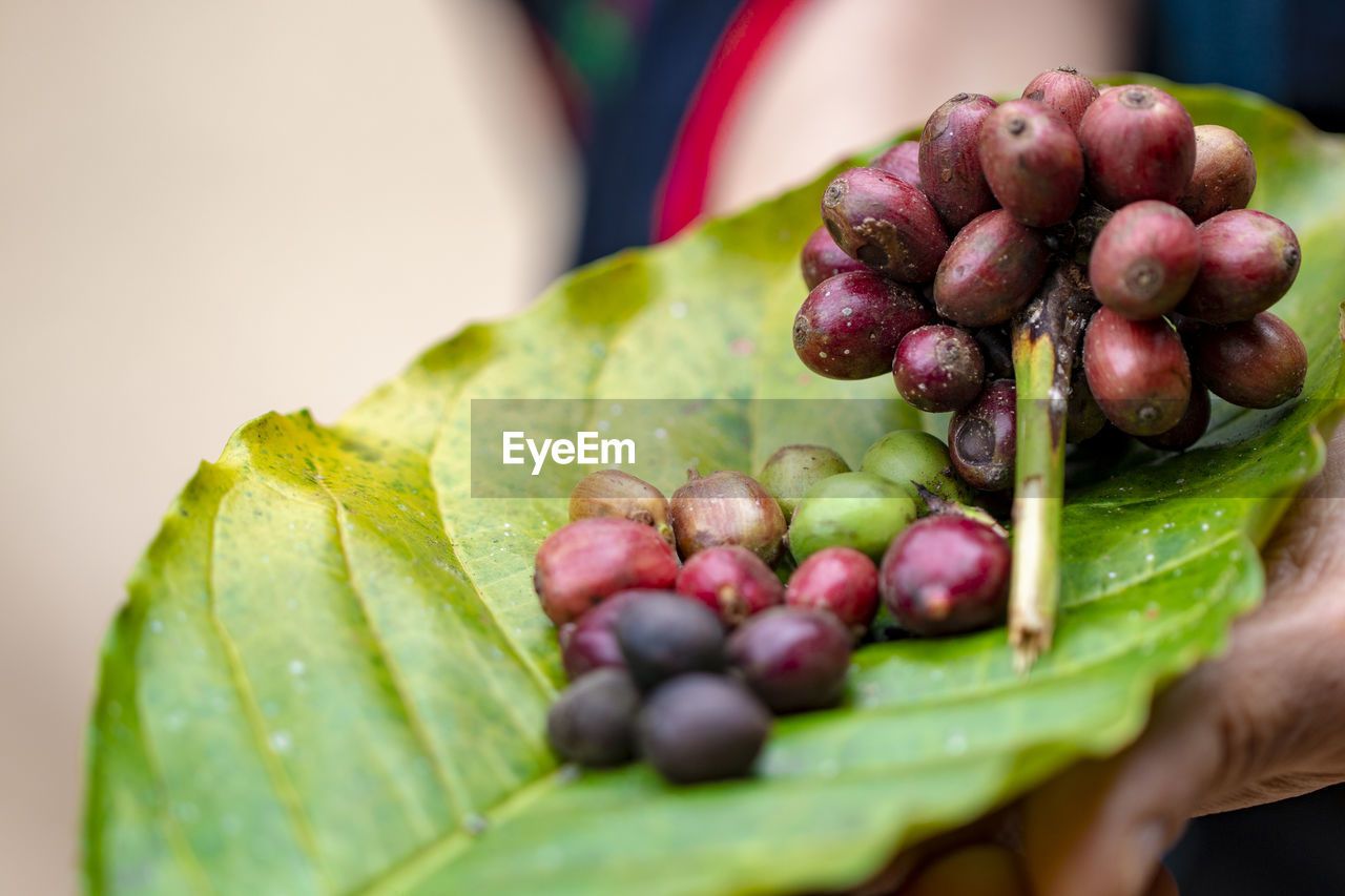 food and drink, food, healthy eating, freshness, fruit, wellbeing, green color, close-up, leaf, plant part, selective focus, human hand, one person, hand, grape, human body part, real people, day, nature, focus on foreground, finger