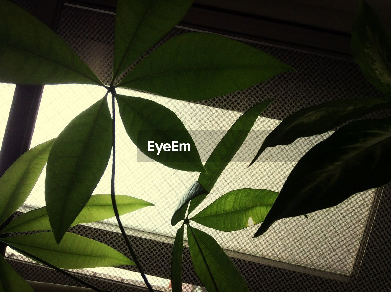 leaf, day, green color, growth, indoors, close-up, low angle view, no people, maple