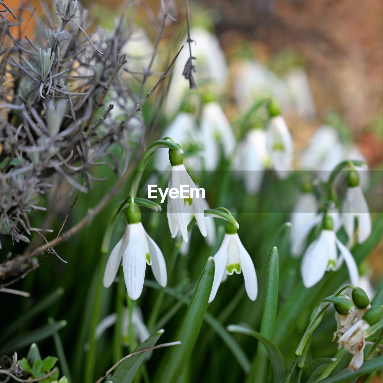 plant, growth, beauty in nature, flower, freshness, vulnerability, flowering plant, close-up, white color, snowdrop, fragility, focus on foreground, no people, nature, petal, day, inflorescence, flower head, green color, selective focus, outdoors