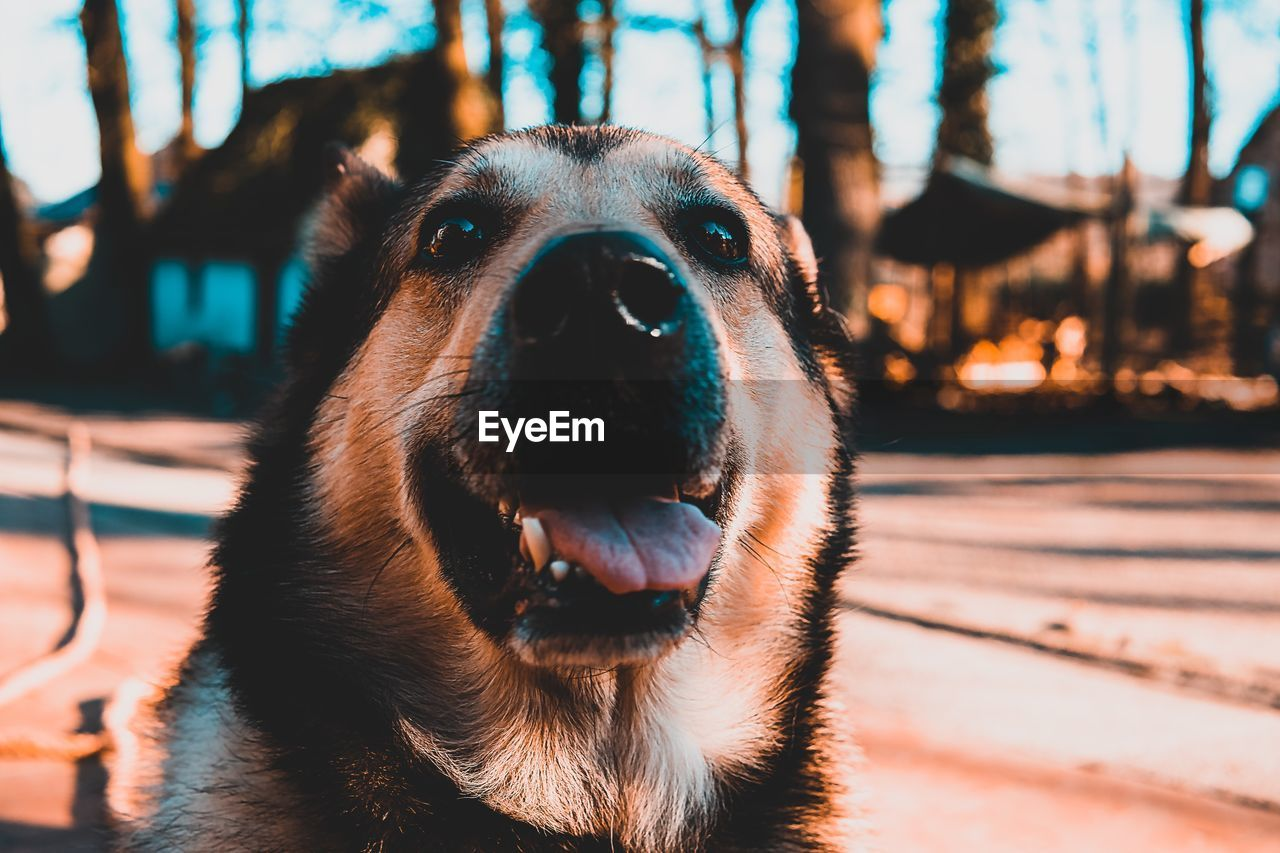 one animal, animal themes, dog, domestic, canine, pets, mammal, animal, domestic animals, vertebrate, focus on foreground, close-up, no people, animal body part, portrait, animal head, nature, looking at camera, mouth open, mouth, animal mouth, snout