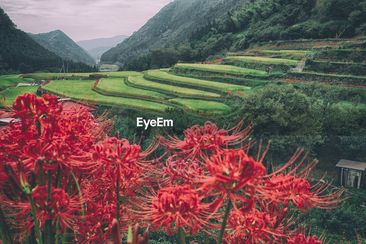 Close-Up Of Red Flowers Growing Against Rice Terrace